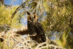 Long-eared Owls - seasonal residents (Photo by Jerzy Aust)